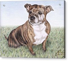 English Staffordshire Terrier Acrylic Print by Nicole Zeug