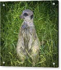 Enjoying The Grass Acrylic Print