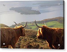 Enjoying The View - Highland Cattle Acrylic Print