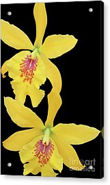 Epilaeliocattleya Don Herman Gold Rush Acrylic Print by Judy Whitton