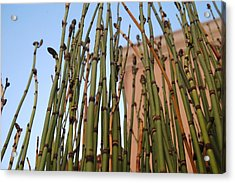 Equisetum Acrylic Print by Jean Booth