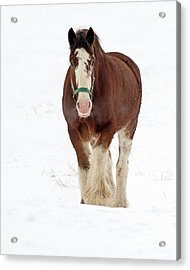 Acrylic Print featuring the photograph Equus Caballus.. by Nina Stavlund