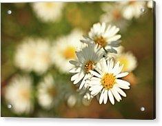 Erigeron Annuus Daisy Like Wildflower Acrylic Print