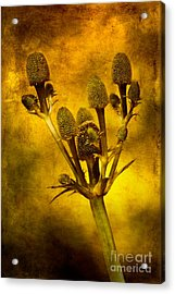 Eryngium Gold Acrylic Print by John Edwards