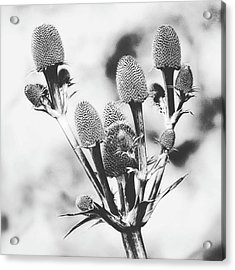 Eryngium #flower #flowers Acrylic Print