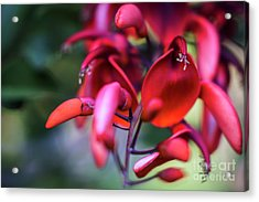 Acrylic Print featuring the photograph Erythrina Crista Galli Flower Spain Square Cadiz Spain by Pablo Avanzini