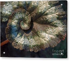 Escargot Begonia Acrylic Print