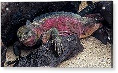 Espanola Marine Iguana Acrylic Print by Harry Strharsky