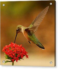 Estes Park Hummng Bird Acrylic Print