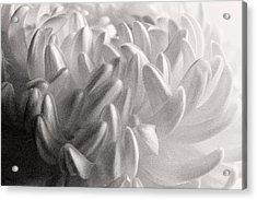 Ethereal Chrysanthemum Acrylic Print