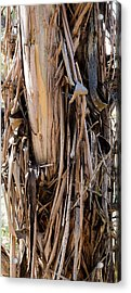 Eucalyptus Bark - Australia Acrylic Print by Steven Ralser