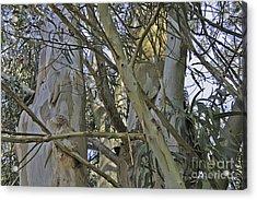 Eucalyptus Study Acrylic Print