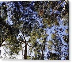 Eucalyptus Tree Canopy Acrylic Print by Tracey Harrington-Simpson