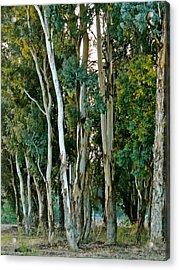 Eucalyptus Trees Acrylic Print