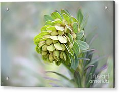 Acrylic Print featuring the photograph Euphorbia by Linda Lees