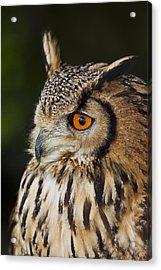 Eurasian Eagle-owl Bubo Bubo Acrylic Print