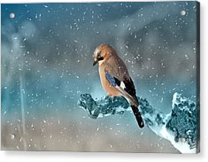 Eurasian Jay Acrylic Print by Ericamaxine Price