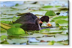 Eurasian Or Common Coot, Fulicula Atra, Duck And Duckling Acrylic Print