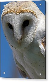 Acrylic Print featuring the photograph European Barn Owl by JT Lewis