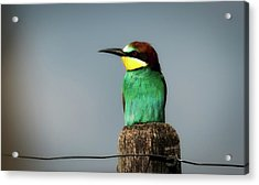 Acrylic Print featuring the photograph European Bee Eater by Wolfgang Vogt