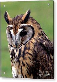 Eurasian Striped  Owl Acrylic Print by Stephen Melia