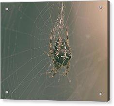 European Garden Spider B Acrylic Print