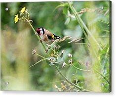 European Goldfinch Perched On Flower Stem B Acrylic Print