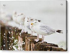 European Herring Gulls In A Row  Acrylic Print