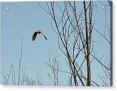 Evanescent Queen Of Upland Birds Acrylic Print