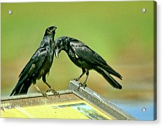Even Crows Need Some Lovin Acrylic Print