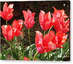 Even More Temple Beauty Tulips Acrylic Print