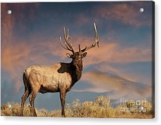 Evening Bull Elk Acrylic Print by Wildlife Fine Art