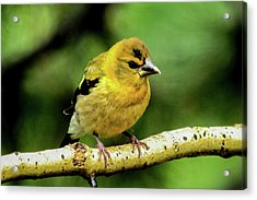 Evening Grosbeak Baby Acrylic Print