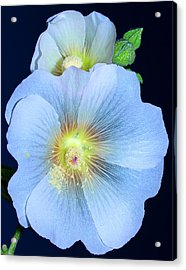 Evening Hollyhock Acrylic Print