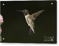 Evening Hummer Acrylic Print by Michael Greiner