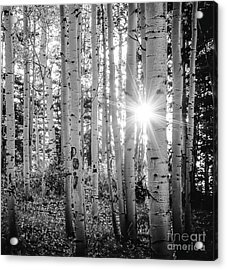 Acrylic Print featuring the photograph Evening In An Aspen Woods Bw by The Forests Edge Photography - Diane Sandoval