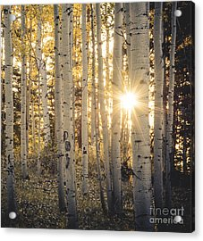 Evening In An Aspen Woods Acrylic Print