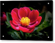 Acrylic Print featuring the photograph Evening Peony by Charles Harden