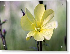 Evening Primrose In The Morning Acrylic Print by MH Ramona Swift