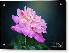 Evening Rose Acrylic Print