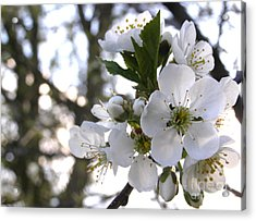 Acrylic Print featuring the photograph Evening Show - Cherry Blossoms by Angie Rea