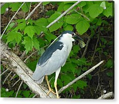 Acrylic Print featuring the photograph Evening Snack For A Night Heron by Donald C Morgan