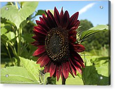 Evening Sun Sunflower #1 Acrylic Print