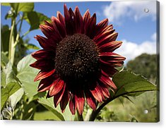 Evening Sun Sunflower #2 Acrylic Print