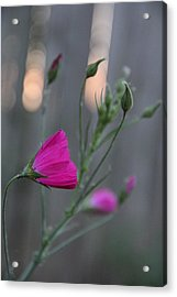 Evening Winecup Acrylic Print
