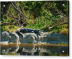 Everglades Crocodile Acrylic Print by David Lee Thompson