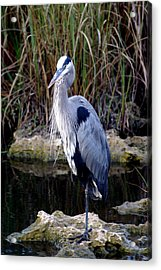 Everglades Heron Acrylic Print by Marty Koch