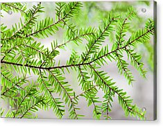 Acrylic Print featuring the photograph Evergreen Abstract by Christina Rollo