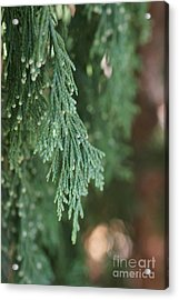 Evergreen Acrylic Print by Linda Shafer