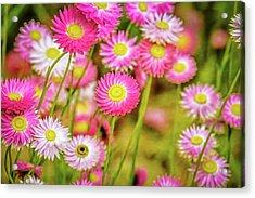 Acrylic Print featuring the photograph Everlasting Daisies, Kings Park by Dave Catley